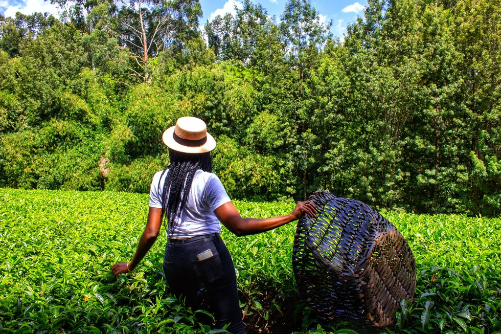 best roadtrip places in kenya purple tea farm